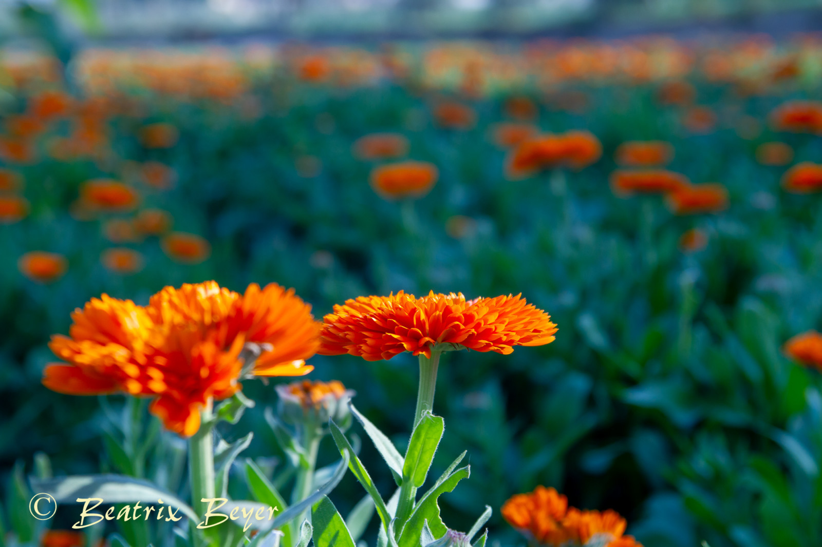 Ringelblumer werden hier in Bio-Qualität angebaut